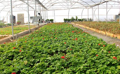 جواد نصری شهردار فلاورجان:تولید ۱۰۰۰۰ گل فصلی و شب بو در گلخانه شهرداری