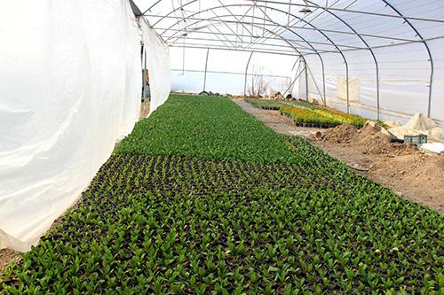 213 - جواد نصری شهردار فلاورجان:تولید ۱۰۰۰۰ گل فصلی و شب بو در گلخانه شهرداری