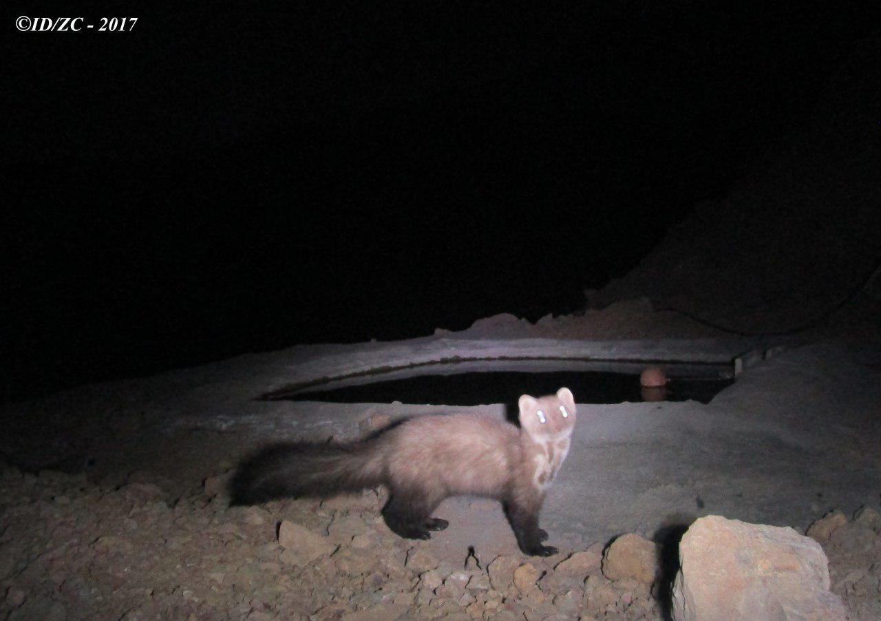 ثبت تصویر از گونه حمایت شده سمور سنگی در منطقه شاهکوه فلاورجان