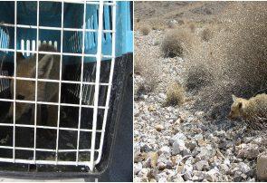 زنده گیری و رهاسازی یک قلاده روباه  در قهدریجان