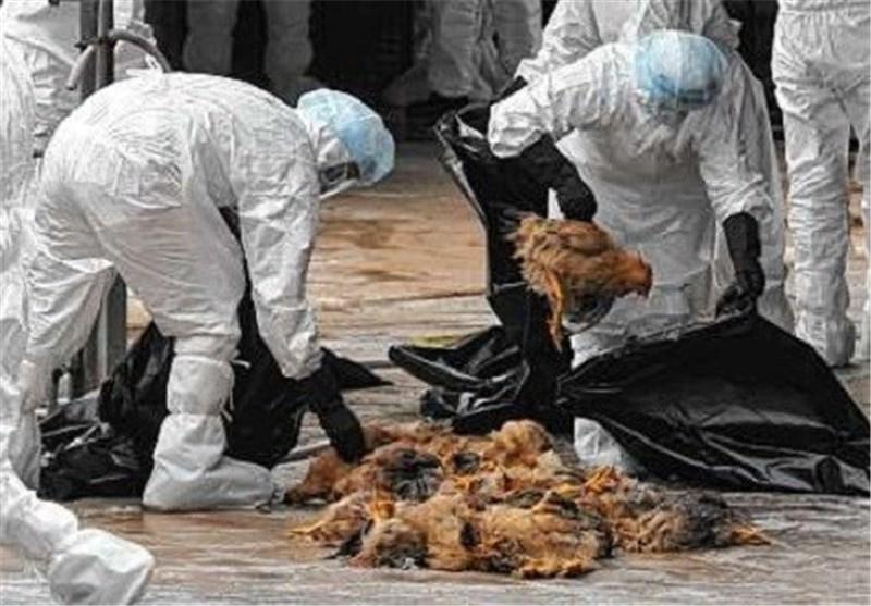 معدوم کردن بیش از ۳۳۰۰ قطعه مرغ مبتلا به آنفولانزای فوق حاد پرندگان درشهرستان فلاورجان